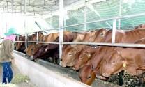 Nuôi bò Úc tại Đồng Nai