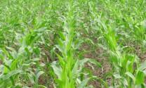 Hiệu quả từ trồng bắp non làm thức ăn chăn nuôi
