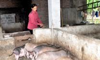 Tuyên Quang: Thượng Lâm phát triển chăn nuôi theo hướng hàng hóa