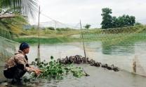 TX Quảng Yên (Quảng Ninh): Triển khai thành công mô hình nuôi vịt trời thương phẩm