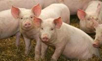 Quảng Ngãi: Hiệu quả chăn nuôi trên nền đệm lót sinh học