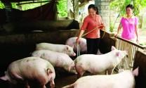 Phòng trị bệnh dịch tả lợn