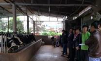 Lâm Đồng: Khởi nghiệp từ nghề chăn nuôi bò sữa