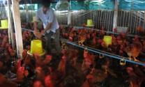 """Hải Phòng: Gà thịt giảm giá, """"tắc"""" đầu ra - Người nuôi khó duy trì sản xuất"""