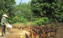 Thanh Hóa: Nuôi gà thả vườn an toàn sinh học ở Hà Trung