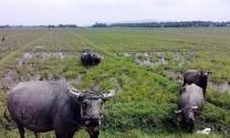 Bình Phước: Tổng đàn trâu, bò trên địa bàn tỉnh giảm