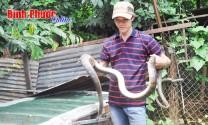 Thành công từ nuôi rắn hổ vện