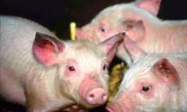 Nghệ An: Dịch tai xanh tái phát trên lợn