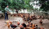 Bà Rịa - Vũng Tàu: Nhân rộng mô hình nuôi gà thả vườn an toàn sinh học