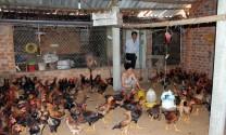 Bình Định: Nhân rộng mô hình chăn nuôi gà trên nền đệm lót sinh học
