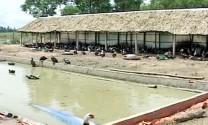 Vĩnh Hưng (Long An): Nông dân lai tạo thành công giống vịt xiêm