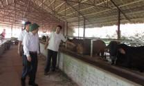 Yên Bái: Làm giàu từ nuôi bò bán công nghiệp