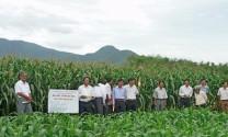 Xã Cát Tài (Phù Cát, Bình Định): Trồng bắp non làm thức ăn cho bò sữa mang lại thu nhập cao