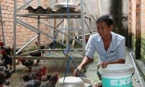 Giống gà Đông Tảo (Hưng Yên): Đã có mô hình nuôi ở huyện Xuyên Mộc (Bà Rịa - Vũng Tàu)