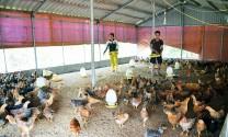 Chuyển dịch cơ cấu kinh tế nông nghiệp: Góc nhìn từ hướng phát triển gà Tiên Yên (Quảng Yên)