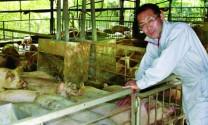 Nhật Bản: Nuôi lợn bằng trà xanh thay nước
