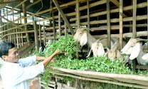 Trồng cỏ, nuôi dê trong vườn tiêu sạch