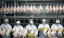 Thịt gà Brazil kiện Indonesia ra WTO