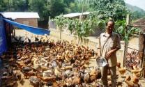 Bình Định: Giá gà thịt và gà giống giảm mạnh