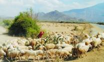 Phát triển mô hình chăn nuôi cừu Ninh Thuận
