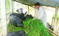 Hà Giang: Nuôi lợn rừng thu nhập trên 250 triệu đồng mỗi năm