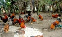 Đồng Tháp: Hiệu quả mô hình thực nghiệm nuôi gà trống thiến
