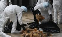 Campuchia: Phát hiện thêm ổ dịch cúm H5N1