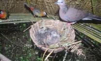 Thái Nguyên: Làm giàu nhờ nuôi chim cu gáy sinh sản