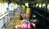 Công ty CP Giống chăn nuôi Bắc Giang: Cùng người nuôi làm giàu ổn định