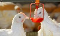Long An: Ứng dụng hệ thống núm uống tự chảy trong chăn nuôi gà