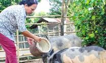 Khánh Vĩnh (Khánh Hòa): Khó phát triển đàn heo đen