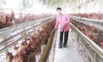 Long An: Chăn nuôi phục vụ thị trường Tết: Nông dân thận trọng tái đàn