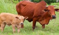 Quảng Bình: Giàu lên nhờ nuôi bò
