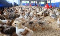 Hà Tĩnh: Tăng cường quản lý giám sát gia súc, gia cầm trong dịp cuối năm