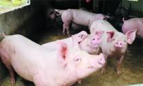 Bệnh đóng dấu lợn hay Bệnh heo son (Erysipelas suis)