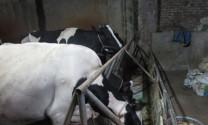 Hưng Yên: Khóc, cười với nghề nuôi bò sữa ở Kim Động