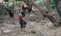Thu lợi lớn từ nuôi gà Đông Tảo