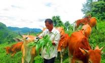 Nghệ An: Xóa đói, giảm nghèo từ chăn nuôi bò Mông tại Kỳ Sơn.