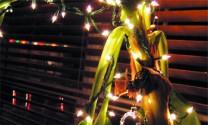 Trang trí cây chuối dịp Giáng sinh ở Ấn Độ