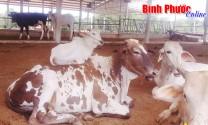 Trại nuôi bò sữa đầu tiên ở Bình Phước