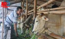 Phú Tân (An Giang): Phát triển đàn bò lai theo hướng công nghệ cao