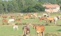 Bình Định: Triển vọng từ mô hình nuôi bò sinh sản ở Vĩnh An