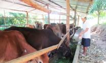 Cam Lâm (Khánh Hòa): Hiệu quả từ mô hình vỗ béo bò