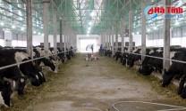 Hà Tĩnh: Một trang trại ở Đức Thọ thả nuôi 210 con bò sữa