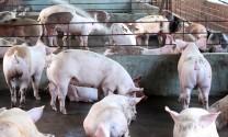 Tháp Mười (Đồng Tháp): Chăn nuôi phát triển ổn định