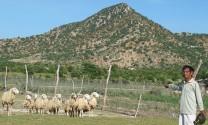 Ninh Thuận: Mô hình nuôi cừu sinh sản cho kết quả khả quan