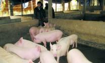 Hà Giang: Tỷ phú trẻ từ chăn nuôi tổng hợp