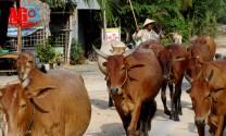 An Giang: Hiệu quả mô hình trồng cỏ kết hợp nuôi bò vỗ béo