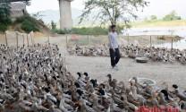 Nghệ An: Vịt bầu Quỳ cháy hàng trước Tết
