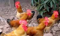 Thu nhập 150 triệu đồng /năm từ nuôi gà Lương Phượng